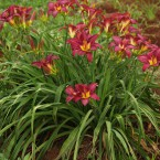 PC019800 Fully grown daylily clump - 3 - 4 years (variety Chartwell)