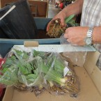 SH 1 - Iris rhizomes being prepared for shipping or markets
