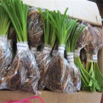 Sh 5 (a) - Daylily plants prepared